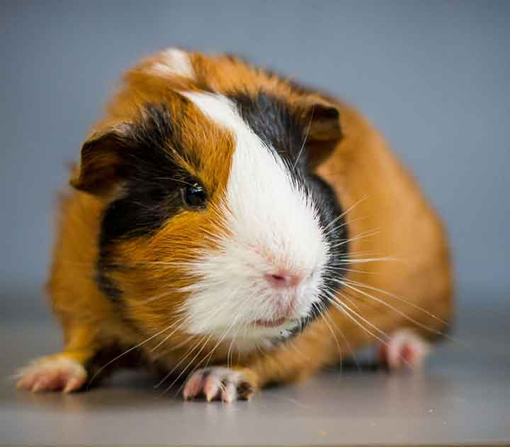 Pet Guinea Pig on Table