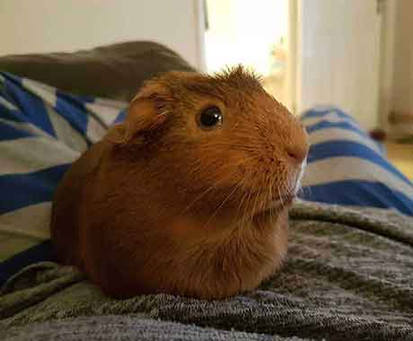 Pet Guinea Pig on Lap