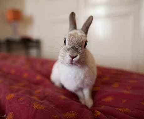 Pet Rabbit on Red Bed
