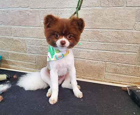 Pet Dog Pomeranien After Grooming