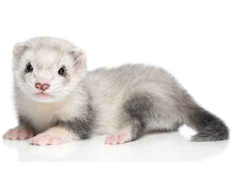 Pet Ferret on White Background