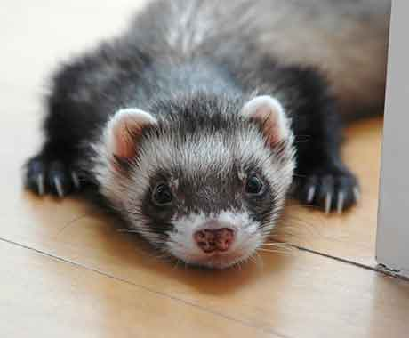 Pet Ferret on Wood Floor