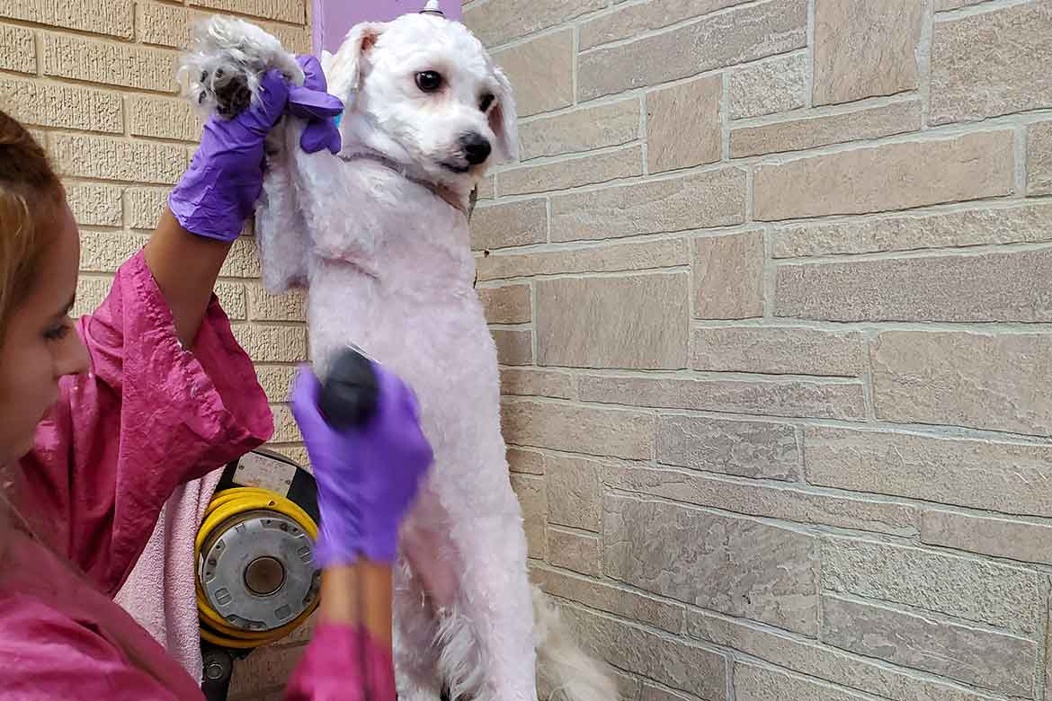 Pet Express Grooming White Dog Getting Cut