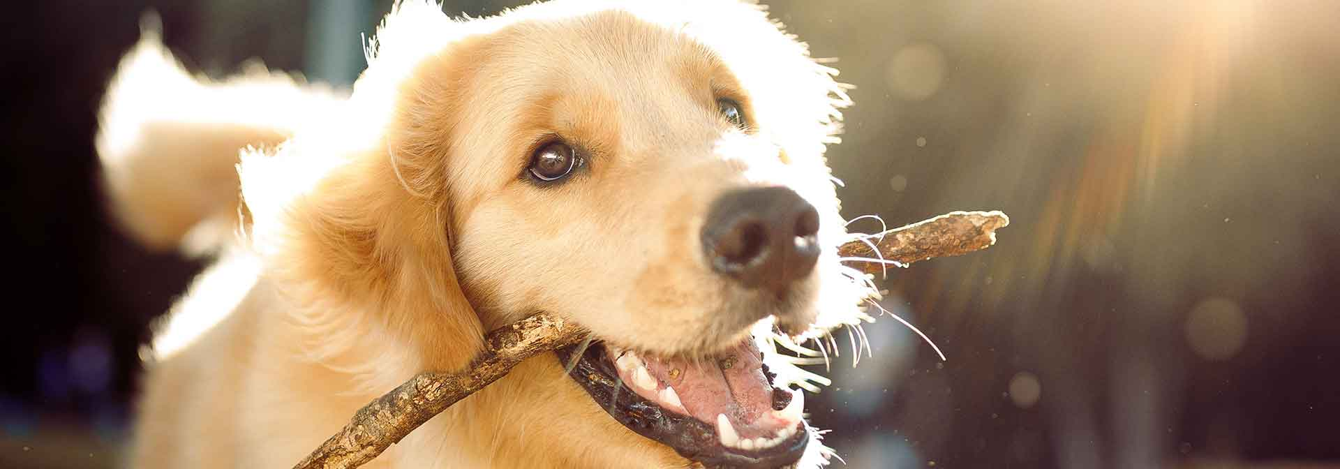 Animal Boarding And Grooming of Farmers Branch golden stick in mouth slide background
