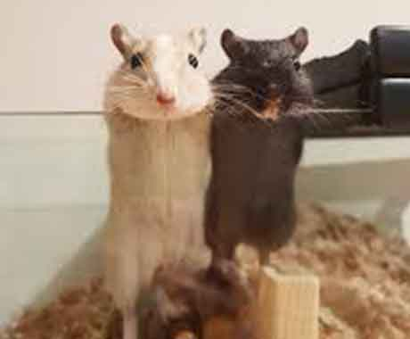 Two Mice Hanging on Side of glass cage