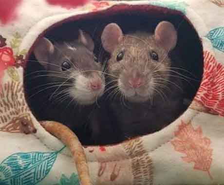 Two Mice Hiding in Rolled Up Carpet